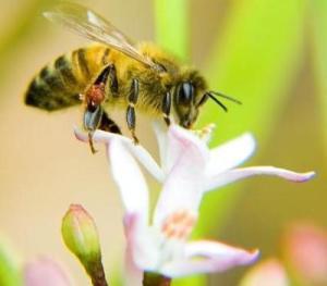 abeja-polinizacion-extincion